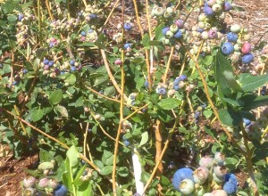 berry_bushes