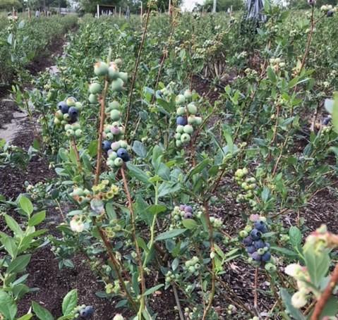 Blueberries turning Blue