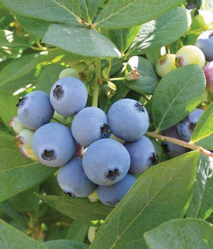 jewel_berries__full