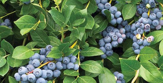 schema-blueberries